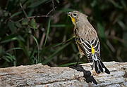 Female Audubon's yellow-rumped warbler, Sandia Mountains, New Mexico