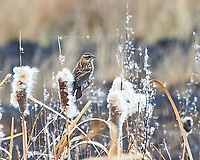 Red-winged Blackbird (Agelaius phoeniceus). Alamosa National Wildlife Refuge, Colorado. Image taken with a Nikon D700 camera and 80-400 mm VR lens.