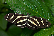 Zebra Longwing Butterfly, Adult, Heliconius charithonia, resting with wings open, black and white stripes ,metamorphosis