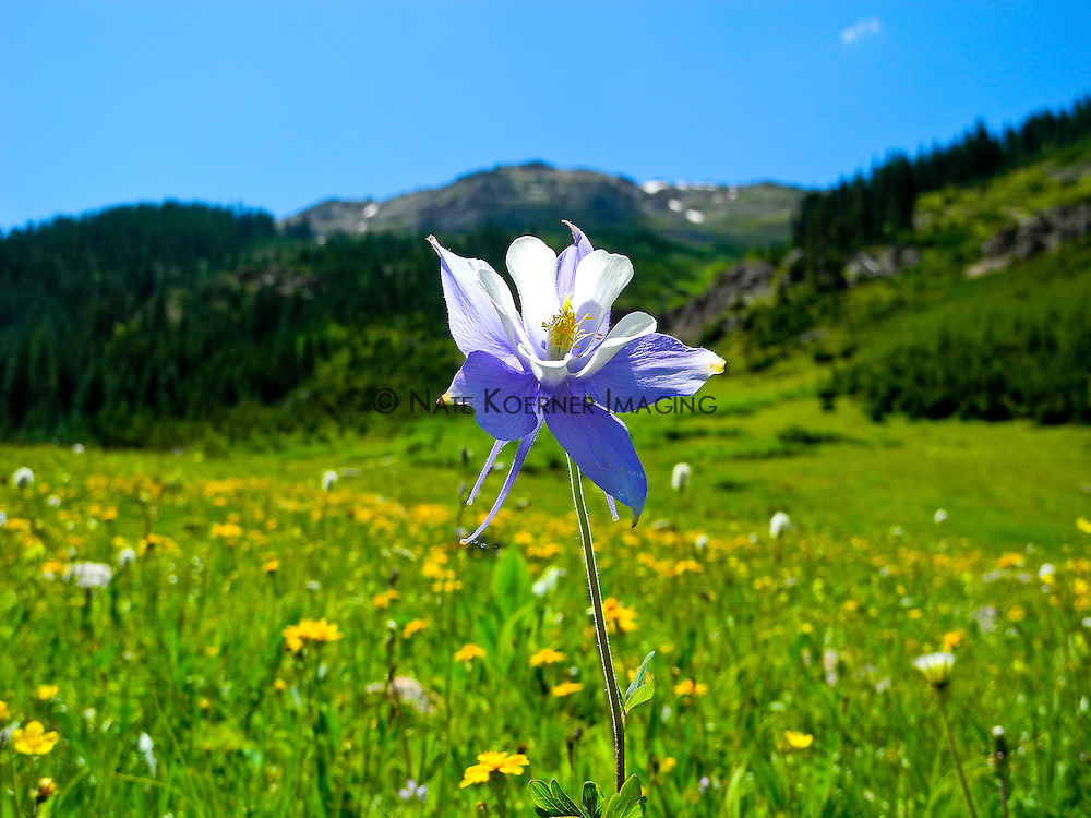 Columbine in Full Bloom in Colorado Rocky Mountains