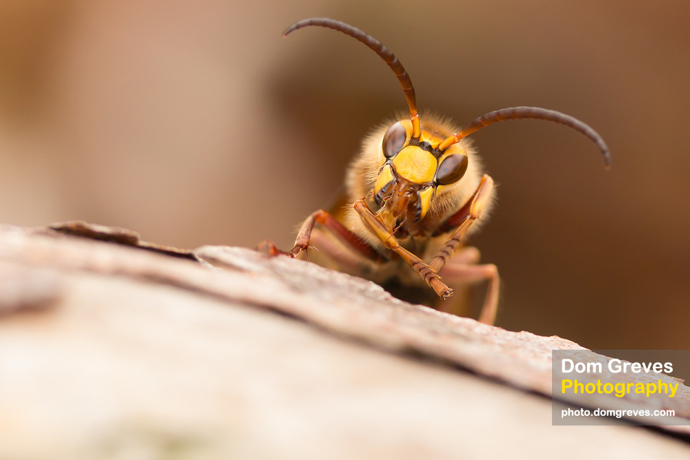 Hornet male (Vesba crabro) washing its front leg. Surrey, UK.