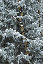detail of a pine tree covered in snow