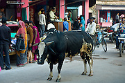 Bull roams in the street in city of Varanasi, Benares, Northern India