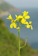 LUNDY CABBAGE Coincya wrightii (Height to 90cm) is entirely restricted to the eponymous island in the Bristol Channel. Here, it is easy to see if you visit the island in spring or early summer (May-Jul) since its showy heads of bright yellow flowers can be seen growing on either side of the road that leads from the Landing Bay to the Village.
