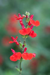 Salvia 'Royal Bumble'. Sage