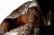 Deutschland, DEU, Krefeld, 2004: Projekt ueber die biologischen Wurzeln der Mode. Die Shootings hierfuer wurden mit Grossen Menschenaffen, die dem Menschen am naechsten sind, im Krefelder Zoo gemacht. Die Tiere waren weder zahm noch trainiert. Die Kleidungsstuecke wurden in die Gehege geworfen und was immer die Tiere damit anstellten, taten sie aus sich selbst heraus. Ein Eingreifen oder gar eine Regie war unmoeglich. Da das Verhalten der Affen im Mittelpunkt stand, wurden die Hintergruende von den Originalfotografien entfernt. Orang-Utan-Weibchen Sita mit einem Shirt von XX by MEXX. | Germany, DEU, Krefeld, 2004: Project to look at the basics and roots of fashion. The shootings took place in the Zoo Krefeld with three species of Great Apes who are the nearest to us. The animals were neither tamed nor trained. Whatever the animals did, they did on their own. Any intervention or directing was impossible. To set the focus on the behaviour of the animals itself we removed the background from the original photographs. Orang Utan (Pongo pygmaeus) female Sita with shirt from XX by MEXX. |
