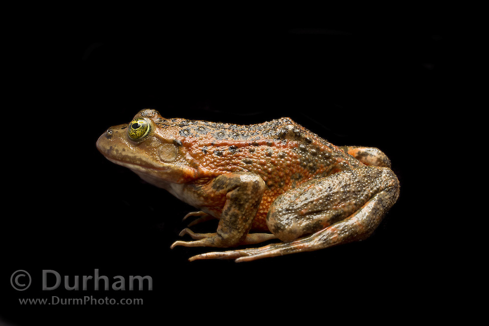 The Oregon spotted frog (Rana pretiosa) has been lost from at least 78 percent of its former range. Precise historic data is lacking, but this species has been documented in British Columbia, Washington, Oregon, and California. It is believed to have been extirpated from California. It is currently known to occur from extreme southwestern British Columbia, south through the eastern side of the Puget/Willamette Valley Trough and the Columbia River Gorge in south-central Washington, to the Cascades Range, to at least the Klamath Valley in Oregon. In 1993, the U.S. Fish and Wildlife Service determined that the Oregon spotted frog warranted listing under the Endangered Species Act, but doing so was precluded by higher priority listing actions. The frog then became a candidate for listing in the future. Photographed in the Conboy Lake National Wildlife Refuge, Washington. © Michael Durham / www.DurmPhoto.com