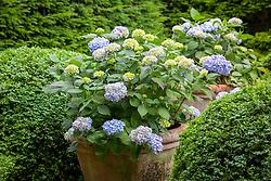 Hydrangeas in large terracotta pots