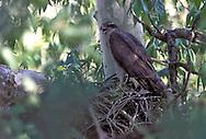Northern Goshawk - Accipiter gentilis