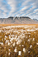 Lav sol over myrull i Adventsdalen, Spitsbergen, Svalbard.<br /> <br /> Cottongrass (Eriophorum sp.) in autumn colours covering Adventsdalen outside Longyearbyen on Spitsbergen, Svalbard, Norway. August.