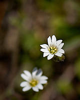 Small white wildflowers. Wild basin trail in Rocky Mountain National Park. Image taken with a Nikon D2xs camera and 105 mm f/2.8 VR macro lens (ISO 100, 105 mm, f/5.6, 1/2000 sec).