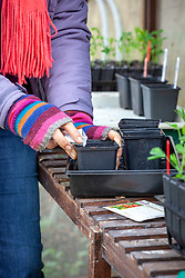 Sowing indoor tomatoes in plastic pots in the greenhouse