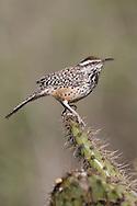 Cactus Wren - Campylorhynchus brunneicapillus - Adult (coastal Southern California subspecies)