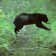 Black Bear, (Ursus americanus) Minnesota, young bear jumping creek at favorite spot, back and forth. Summer.