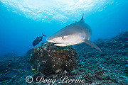 tiger shark, Galeocerdo cuvier, with small remora or sharksucker on lower jaw, Honokohau, Kona, Big Island, Hawaii, USA ( Central Pacific Ocean )