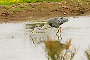 Grey heron catching a fish in the River Clyst estuary at Bowling Green Marsh in Topsham, Devon.