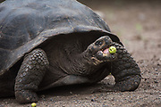 Galapagos Giant Tortoise (Geochelone sp.)<br /> Breeding center<br /> Galapagos National Park,<br /> Puerto Villamil,<br /> Isabela Island, <br /> GALAPAGOS,  <br /> Ecuador, South America<br /> endemic