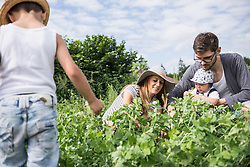 Family harvesting pea in community garden, Bavaria, Germany