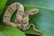 Bothrops osbornei (Bothrops osbornei) Juvenile<br /> Mindo Cloud forest.  ECUADOR.  South America<br /> Distribution: Ecuador, NW Peru<br /> CAPTIVE