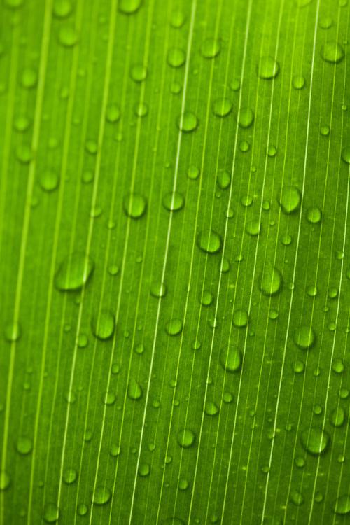 Ti leaf detail