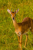 Oribi, Murchison Falls National Park, Uganda. The oribi is a small antelope found in eastern, southern and western Africa.