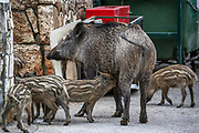 Wild boar piglets and a sow roam the streets in Haifa, Israel, April 09, 2021. Several neighborhoods in the northern Israeli city are being visited by families of wild boars. Many of the animals felt safer to come out of the Carmel woods surrounding the city in search for food, as most people were confined to their homes due to covid-19 lockdowns. As Israel slowly returned to normal life, following a large scale vaccination operation, human and animal encounters became more and more common.