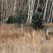 Mule deer does standing in a clearing during early winter. Minnesota