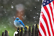 RED, WHITE & BLUE:  Male mountain bluebird (Sialia currucoides) watchers the 4th of July parade in Lincoln, Montana. Summer snowstorms, which are annual occurrence in this part of the species range, strongly delimit distribution of its main competitor – Western Bluebird.<br /> <br /> See Bluebird Battles in PhotoStories.