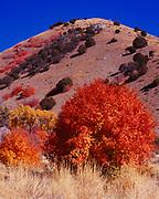 Autumn colors of Bigtooth Maple, Acer grandidentatum, and Narrowleaf Cottonwoods, Populus angustifolia, Weston Canyon, Bannock Range, Caribou-Targhee National Forest, Idaho.