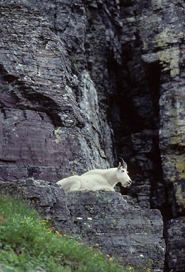 Mountain Goat, (Oreamnos americanus) Billy resting on rocky outcrop. Rocky mountains. Montana.