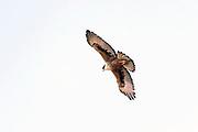 Rufous-bellied Eagle (Aquilla kienerii) from Kanha National Park, Madhya Pradesh, India.