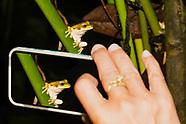 Masked Treefrog, Smilisca phaeota