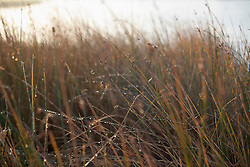 Dew drops on tall grass during sunrise, Renesse, Schouwen-Duiveland, Zeeland, Netherlands
