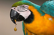 Blue and Yellow Macaw (Ara ararauna) CAPTIVE<br /> PHOTOGRAPHED IN: Amazon Rain Forest. ECUADOR. South America<br /> Range: Panama, Guianas, Trinidad,Colombia south  to Amazonian Brazil, northern Argentina and Paraguay
