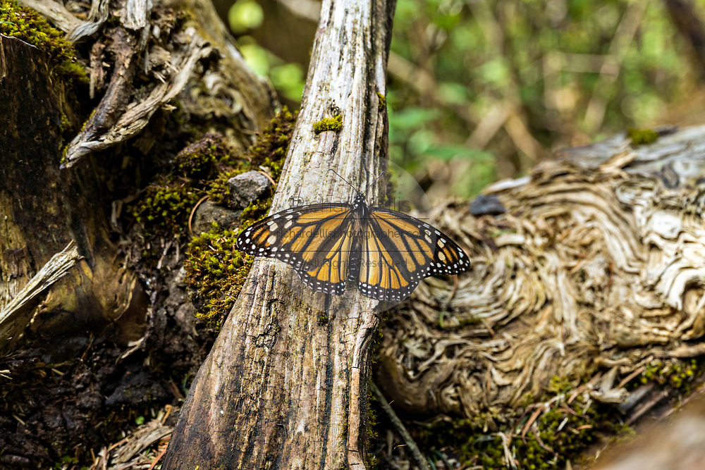 A monarch butterfly warms in the sun on a log at the Sierra Chincua Biosphere Reserve January 20, 2020 near Angangueo, Michoacan, Mexico. The monarch butterfly migration is a phenomenon across North America, where the butterflies migrates each autumn to overwintering sites in Central Mexico.