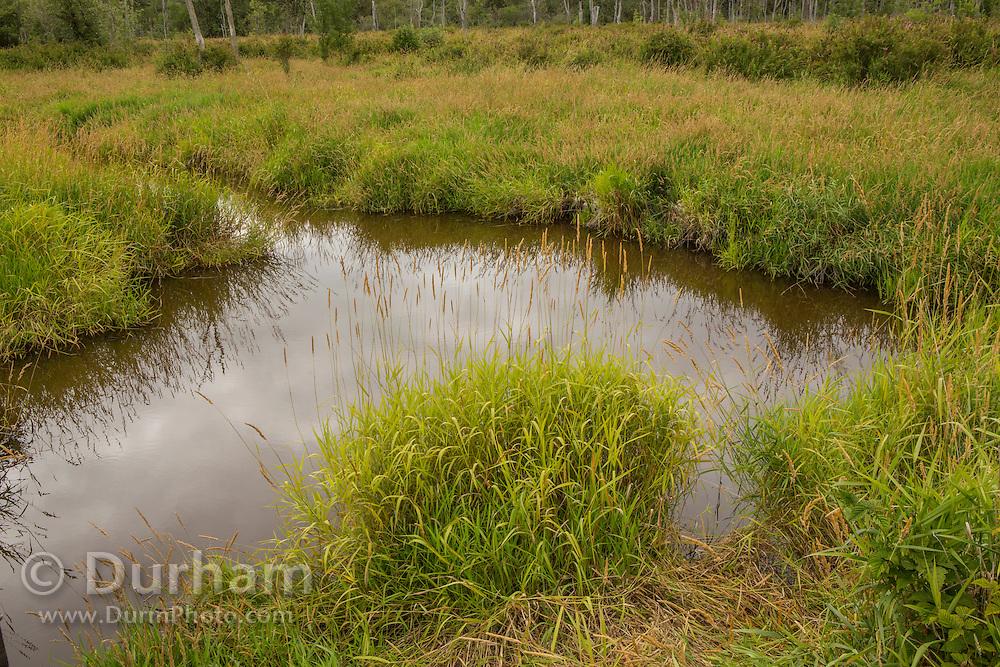 Wetlands adjacent to the Chehalis River in Washington State - habitat for Washington's only endemic fish - the Olympic mudminnow (Novumbra hubbsi).