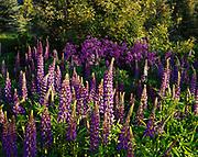 Russell Hybrid Lupines, Lupinus polyphyllus, and Dame's Rocket, Hesparis matronalis, blooming near Fox Creek north of Ketchum, Idaho.