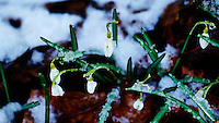Late Winter Snow on Snow Drop Blooms. Image taken with a D3s and 85 mm f/2.8 PC-E lens (ISO 800, 85 mm, f/4, 1/250 sec)