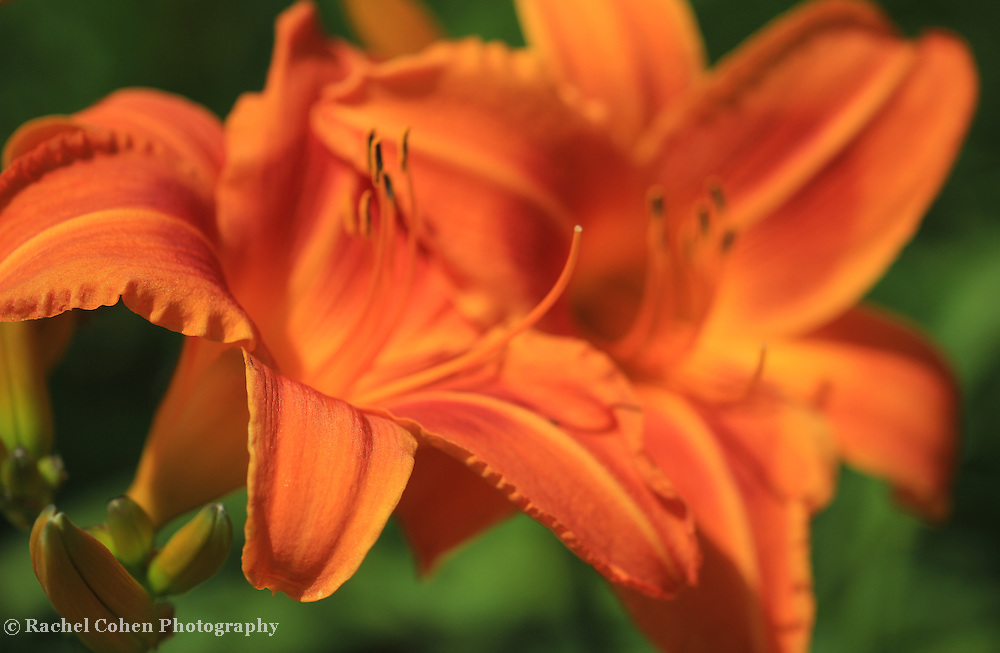 """""""Summer Tiger Lily""""<br /> <br /> Beautiful orange Tiger Lilies on a warm summer day!!<br /> <br /> The Lily Gallery by Rachel Cohen"""