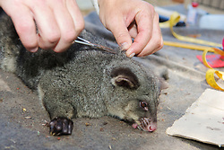 Taking Hair Sample From Mountain Brushtail Possum