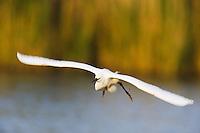 Little egret in flight (Egretta garzetta), Camargue, France
