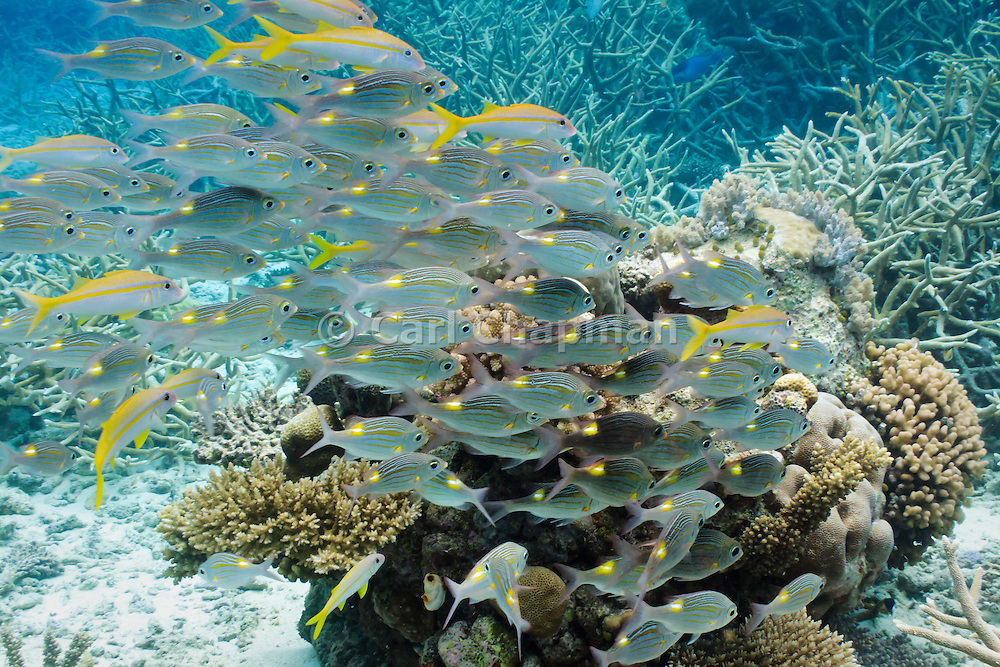 Gold-lined or striped large-eye sea bream (gnathodentex aurolineatus) on tropical coral reef - Agincourt reef, Great Barrier Reef, Queensland, Australia. <br /> <br /> Editions:- Open Edition Print / Stock Image