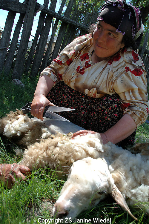 Two Turkish women shearing their sheep in Bezirgan a small village in Souther Turkey.