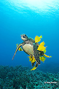 green sea turtle, Chelonia mydas ( Threatened Species in Hawaii; Endangered elsewhere), hangs in a relaxed pose while being cleaned of algae by yellow tangs, Zebrasoma flavescens ( herbivorous surgeonfish ), Puako, Kona, Hawaii, U.S.A. ( Central Pacific Ocean )