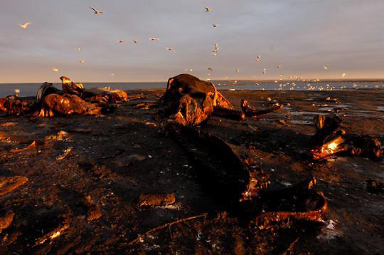 Whale bone pile.  Alaska.