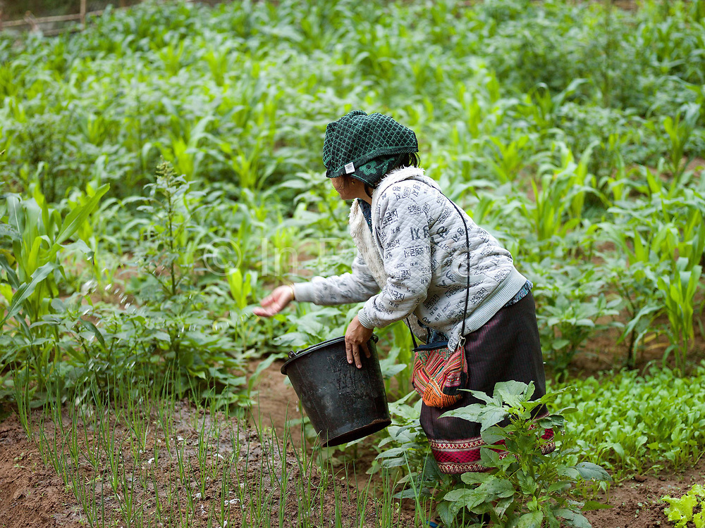 In the early morning, a vegetable grower puts organic fertiliser on her garden in the small riverside town of Sampan, Phongsaly province, Lao PDR. The banks of the Nam Ou river in Sampan are lined with recession planting - advancing as the dry season sets in and the river's level drops, receding as the rains come and it rises once again.