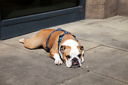 British Bulldog sleeping in the sun. A Bulldog is the common name for a breed of dog also referred to as the English Bulldog The Bulldog is a muscular heavy dog with a wrinkled face and a distinctive pushed-in nose