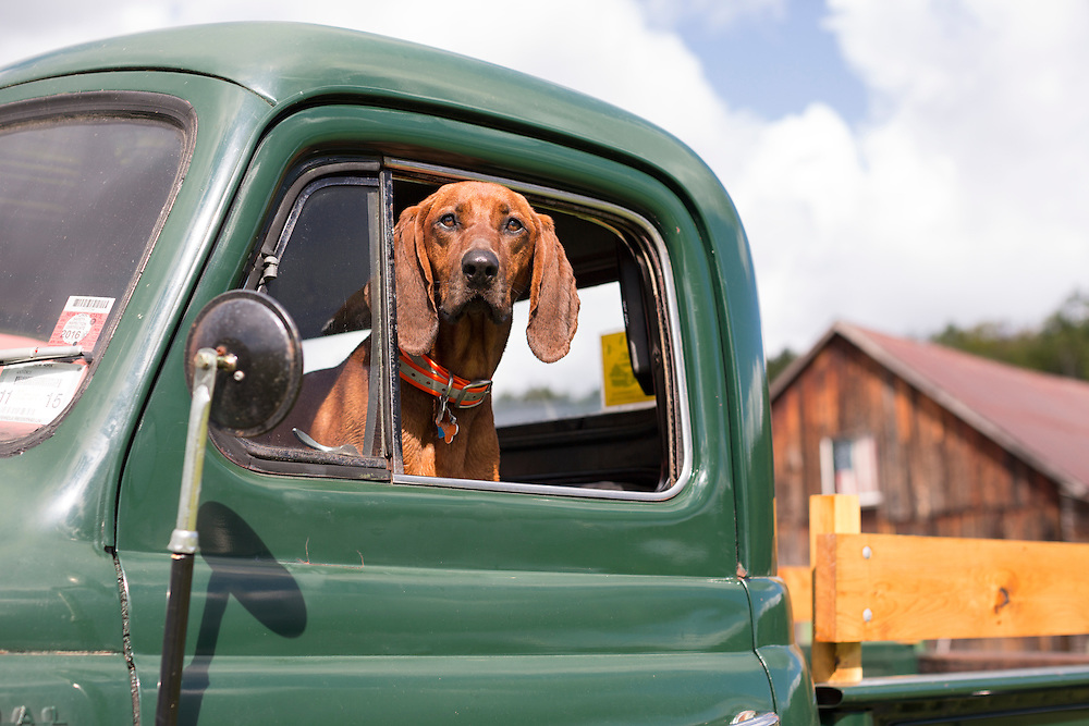 Coonhound in an old truck
