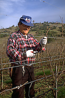 Pruning grape vines during winter in the Anderson Valley, Californai.