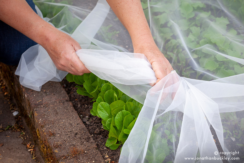 Covering young salad leaves with netting